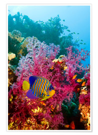 Premium poster  Regal angelfish - Georgette Douwma