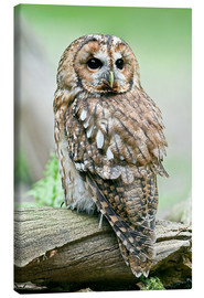Canvas print  Tawny owl - Linda Wright