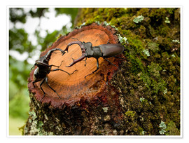 Premium poster  Greater Stag Beetles - Bob Gibbons