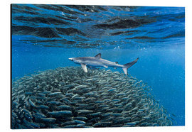 Aluminium print  Hai with jack fish - Christopher Swann