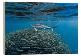 Wood print  Hai with jack fish - Christopher Swann