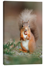Canvas print  Red squirrel eating a hazel nut - Duncan Shaw