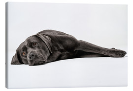 Canvas  Labrador shoe-dog totally relaxed - HPhotowerk by Hendrik Peusch