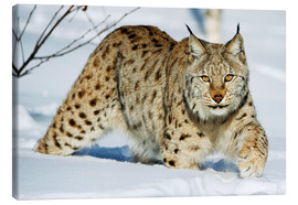 Canvas print  Eurasian lynx in snow - Rolfes