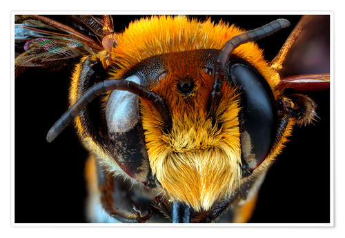 Premium poster Male bee head