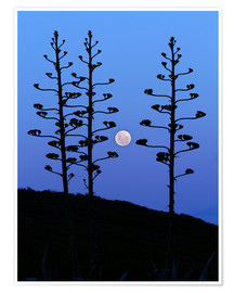 Premium poster  Full Moon and agave trees - Luis Argerich