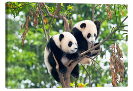 Canvas  Young Pandas in a tree - Tony Camacho