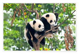 Premium poster  Young Pandas in a Tree - Tony Camacho