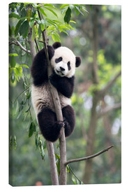 Canvas print  Panda in a Tree - Tony Camacho