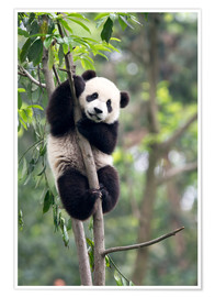 Premium poster  Panda on a tree - Tony Camacho