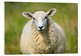 Acrylic print  Sheep - Jeremy Walker