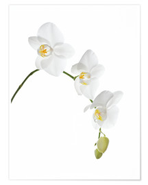 Premium poster  Orchid flowers (family Orchidaceae) - GAVIN KINGCOME