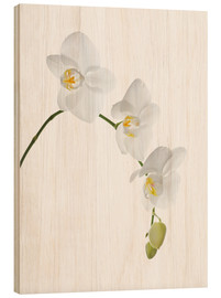 Wood print  Orchid flowers (family Orchidaceae) - GAVIN KINGCOME