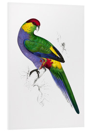 Foam board print  Red capped Parakeet 1 - Edward Lear