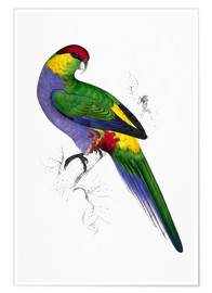 Premium poster  Red capped Parakeet 1 - Edward Lear