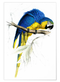 Premium poster  Blue & Yellow Macaw - Edward Lear