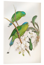 Acrylic print  Philippine Racket tailed Parrot - John Gould