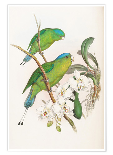 Premium poster Philippine Racket tailed Parrot