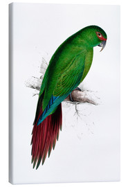 Canvas print  Long billed Parakeet Macaw - Edward Lear