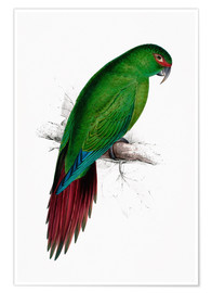 Premium poster  Long billed Parakeet Macaw - Edward Lear