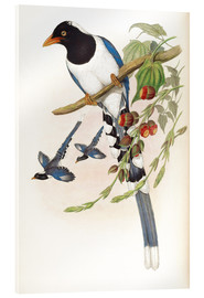 Acrylic print  Great billed Blue Pie - John Gould