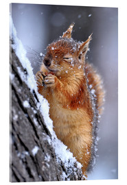 Acrylic glass  Red squirrel in winter - Ervin Kobakçi