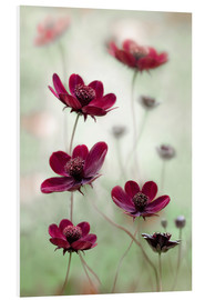 Foam board print  Cosmos sway - Mandy Disher