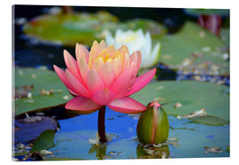 Acrylic print  water lily - GUGIGEI