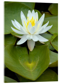 Acrylic print  white water lily - GUGIGEI