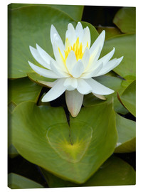 Canvas print  white water lily - GUGIGEI
