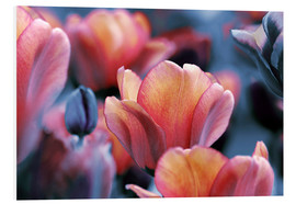 Foam board print  Dark and yellow orange Tulips - Lichtspielart