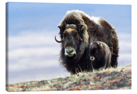 Canvas print  Musk ox with calf - Ken Archer