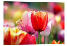 Acrylic print  Beautiful colorful Tulips - Lichtspielart
