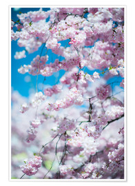 Premium poster Cherry blossom in spring