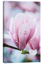 Canvas print  Closeup of blossoming magnolia in spring - Peter Wey