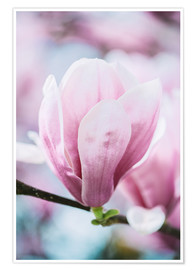 Premium poster  Closeup of blossoming magnolia in spring - Peter Wey