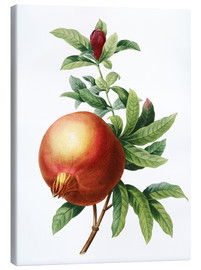 Canvas print  Pomegranate - Pierre Joseph Redouté
