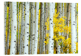 Acrylic glass  birch forest - Rob Tilley