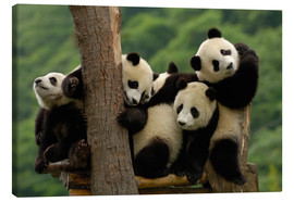 Canvas  Giant panda babies - Pete Oxford