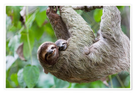 Premium poster Brown-throated Sloth and her baby