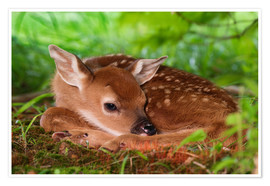 Premium poster Fawn in the grass