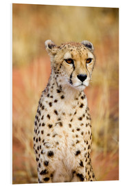 Forex  Namibian cheetah peeks into the distance - Joe Restuccia III