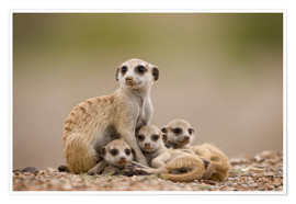 Premium poster  Meerkat family in Namibia - Paul Souders