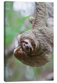 Canvas print  Funny brown-throated sloth - Jim Goldstein