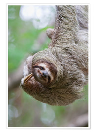 Premium poster  Funny brown-throated sloth - Jim Goldstein
