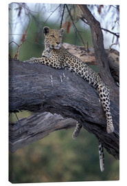 Paul Souders - Botswana, Moremi Game Reserve, Adult Female Leopard (Panthera pardus) rests on tree limb near Khwai
