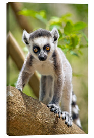 Canvas  Baby ring-tailed lemur - Gallo Images
