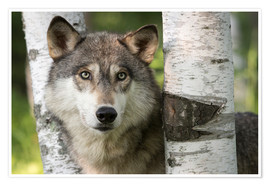Poster  Gray wolf between birch - Jaynes Gallery