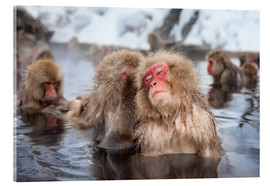 Acrylic glass  Japanese Snow Monkeys in Nagano - Jan Christopher Becke