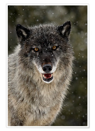 Premium poster Wolf in the snow